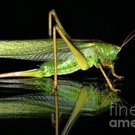 Mariola Bitner - Katydid Reflection