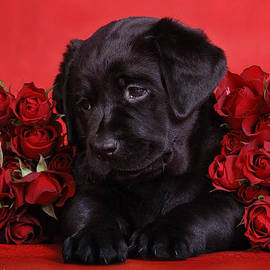 Waldek Dabrowski - Labrador puppy with red roses
