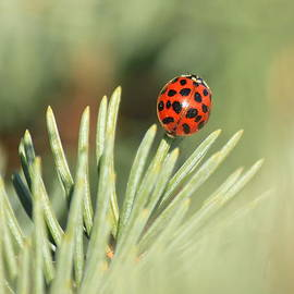 Penny Meyers - Lady Beetle on a Needle