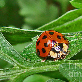 Mary Halpin - Lady bug