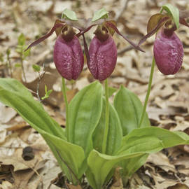 Michael Peychich - lady slipper 2011