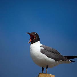 Karol  Livote - Laughing Gull