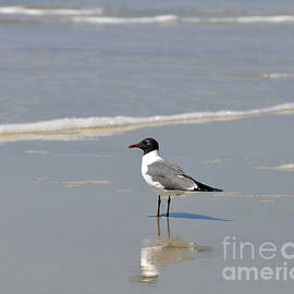 Al Powell Photography USA - Laughing Gull Reflecting