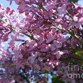 Barbara Yearty - Lilacs in Bloom 2
