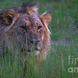 Mareko Marciniak - Lion In Grass