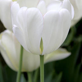 Jennie Marie Schell - Lovely White Tulip Flowers