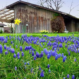 Cindy Wright - Lupine Spring Barn