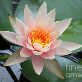 Suzanne Gaff - Lush Pink Lily