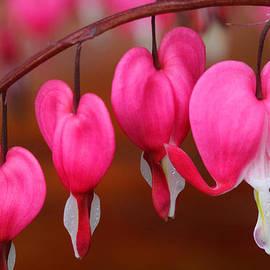 Doug Lloyd - Macro Bleeding Hearts