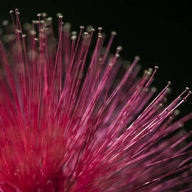 Zoe Ferrie - Macro photograph of a Calliandra flower.