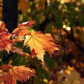 James Hammen - Maple Leaf Glow