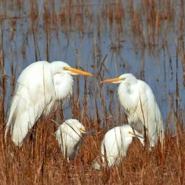 Michael Whitaker - Meet The Egret Family Close Up