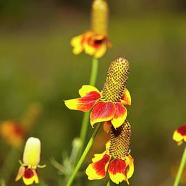 Mark Weaver - Mexican Hat Or Prairie Cone Flower