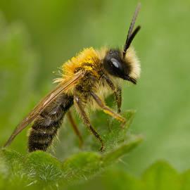 Anne Sorbes - Mining Bee
