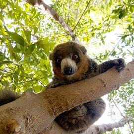 Fabrizio Troiani - Mongoose lemur