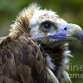 Heiko Koehrer-Wagner - Monk Vulture