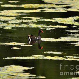 Al Powell Photography USA - Moorhen Reflection