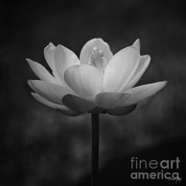 Scott Pellegrin - Morning Lotus