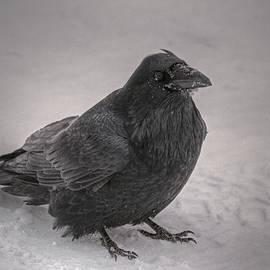 Sam Amato - Mystic Raven