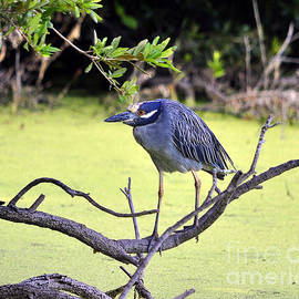 Al Powell Photography USA - Night-Heron