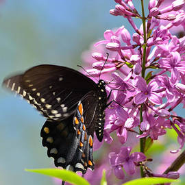 Lori Tambakis - Nothing says Spring like Butterflies and Lilacs