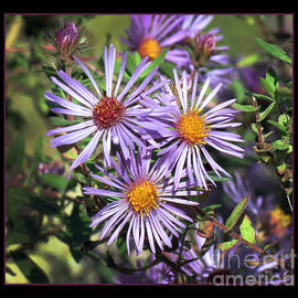 Darleen Stry - Odd Aster Out