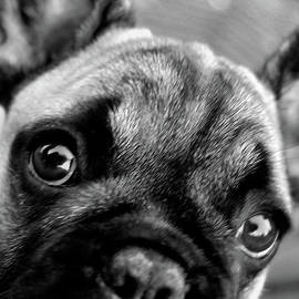 Stephanie Ohnesorge - Olive the French Bulldog