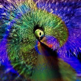 Irma BACKELANT GALLERIES - One Cockeyed Peacock