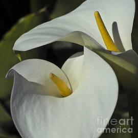 Heiko Koehrer-Wagner - Open white calla lily