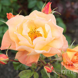 Carol Groenen - Orange Roses in Oslo