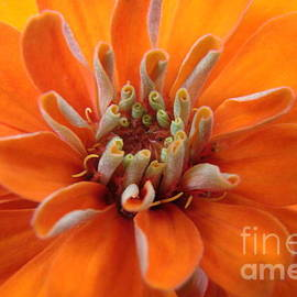 Mary Halpin - Orange Zinna