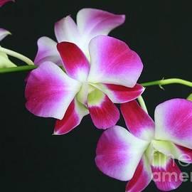 Sabrina L Ryan - Orchids