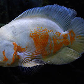 Colette V Hera  Guggenheim  - Oscar Fish Original from Asien