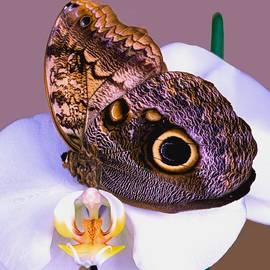 Leslie Crotty - Owl Butterfly Caligo idomeneus menmon