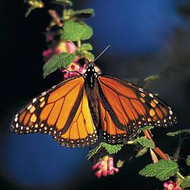 Richard Leon - Pacific Grove Monarch