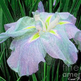 Carol F Austin - Painterly Colorful Iris
