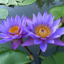 Gregory Smith - Pair of Purple Lotuses