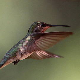 Travis Truelove - Partial Shade for the Ruby- throated Hummingbird