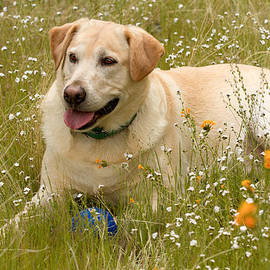 Jean Noren - Yellow lab in the wildflowers