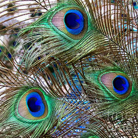 Colleen Kammerer - Peacock Feathers