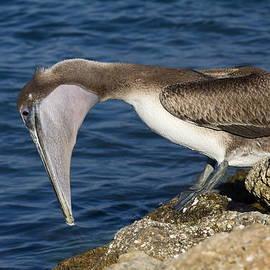 Sally Weigand - Pelican Fishing