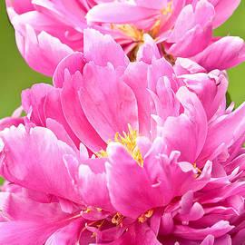 Regina Geoghan - Peony Study in Pink