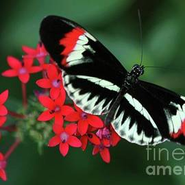 Sabrina L Ryan - Piano Key Butterfly