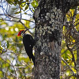 Al Powell Photography USA - Pileated Woodpecker