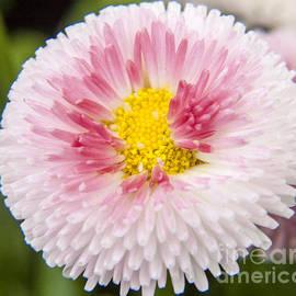 Darleen Stry - Pink button Flower