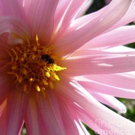 Therese Alcorn - Pink Dahlia with Bee