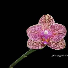 Steven Clipperton - Pink Orchid