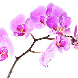 Onyonet  Photo Studios - Pink Orchids 2