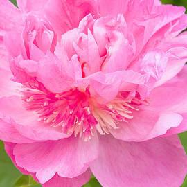 Regina Geoghan - Pink Peony