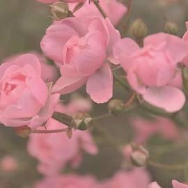 Paula Sharlea - Pink Roses